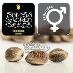 Mexican Sativa féminisée