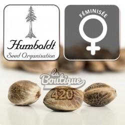 Bubba Kush Féminisée Humboldt