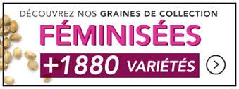 graines-feminisees