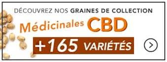 graines-medicinales-cbd